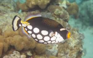 Clown triggerfish photographed while snorkeling on a snorkel vacations snorkeling tour to Raja Ampat