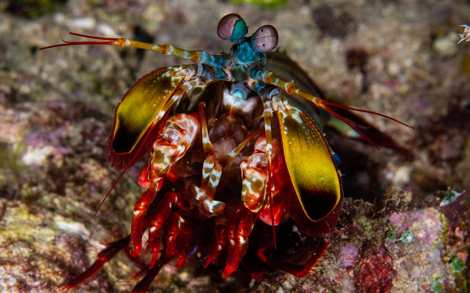 Mantis shrimp photographed while snorkeling on a snorkel vacations snorkeling tour to Raja Ampat
