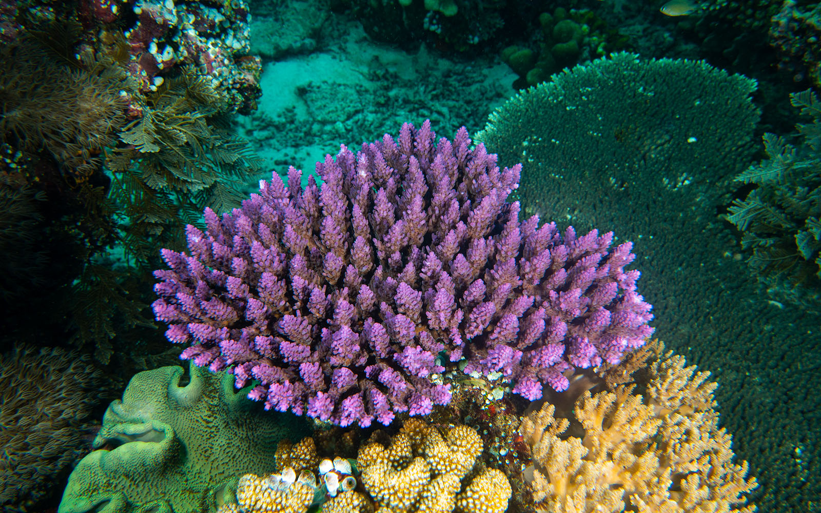 Purple coral colony photographed while snorkeling on a snorkel vacations snorkeling tour to Raja Ampat
